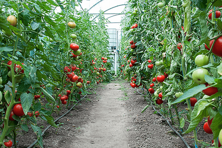 Vegetables in Greenhouses – Bosnia and Herzegovina