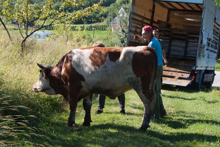 Cow Donation – Bosnia and Herzegovina